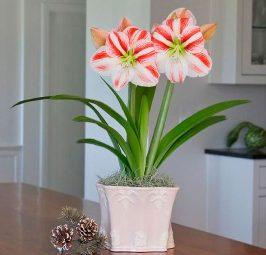 Почему не цветет амариллис?